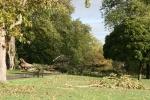 Fallen poplar tree