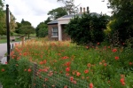 Brockwell poppies-8807
