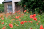 Brockwell poppies-8809