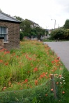 Brockwell poppies-8813
