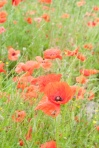 Brockwell poppies-8814