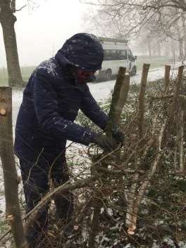 Hedge laying 2018